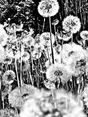 dandelion (nika.vero) Tags: bw black blackandwhite monochrome plant pusteblume dandelion whish grey contrast sw flowers dark