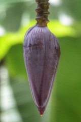 (fabhuleux) Tags: nature 6d canon banana voyage travel france martinique banane