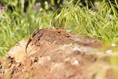 PVA_0009 Psammodromus algirus Sierra de Grazalema Spain (Priscilla (still more then 3yrs of photos to go th) Tags: psammodromusalgirus sierradegrazalema spain lizardsofspain tickonlizard tickpredatinglizard herping herpinginspain reptilesofeurope
