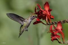 Anna's Hummingbird / Colibri d'Anna (shimmer5641) Tags: calypteanna annashummingbird colibridanna colibrídeanna hummingbird trochilidaefamily birdsofbritishcolumbia britishcolumbiacanada birdsofnorthamerica