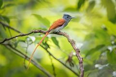Asian Paradise Flycatcher (BP Chua) Tags: bird nature wild wildlife animal thailand krungching forest nikon d850 600mm asianparadiseflycatcher flycatcher