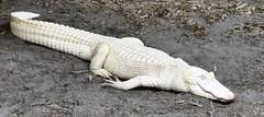 Up Close (donna_0622) Tags: albino alligator gulfarium fl florida nikon d750 summer vacation