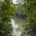 Mangroves around Ah Mah's Drinkstall at Sungei Jelutong, Pulau Ubin