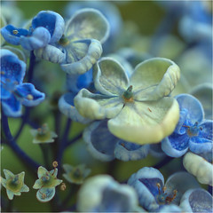 Hydrangea blue........seringhortensia (atsjebosma) Tags: hydrangea seringhortensia bloem flower summer zomer july juli atsjebosma groningen thenetherlands 2018 coth coth5 ngc npc