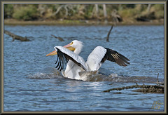 Adios canoe boy!!! (WanaM3) Tags: wanam3 nikon d7100 nikond7100 texas pasadena clearlakecity horsepenbayou bayou outdoors nature wildlife canoeing paddling animal water bird pelican americanwhitepelican