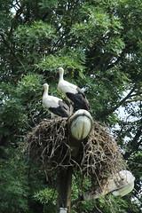 036A7677 (zet11) Tags: nest birds storks youngstorks
