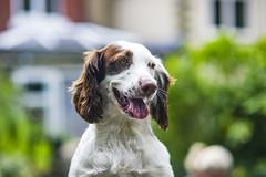 Rupert at 2years 1month (TrevKerr) Tags: englishspringerspaniel spaniel springerspaniel dog dogportrait gundog nikon d3s nikon85mmf18 portrait
