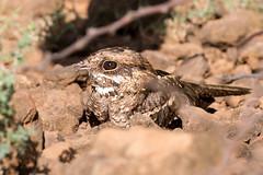 Slender-tailed Nightjar (Garrett Lau) Tags: lakebaringo slendertailednightjar birds baringocounty kenya ke