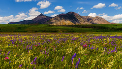 A Magic Carpet... (Ruth Voorhis) Tags: mountains sky clouds field terrain parkland wildflowers flowers plants