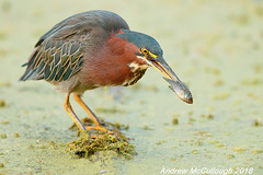 Green Heron with a Fish (Let there be light (Andy)) Tags: texas texasbirds birds brazosbendstatepark heron greenheron feeding fishing