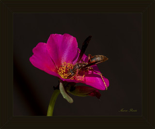 Wasp on Bloom