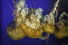 Jellyfish (gabor retei) Tags: jellyfish aquarium bc vancouver stanleypark