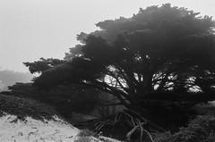 20180724-00030.jpg (tristanloper) Tags: tristanloper creativecommons film nikonf6 california bigsur pacificcoast highway1 pacificocean pfeiffer beach cypress fog mist