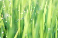 DSCF0764 Rice Field (Heart Bokeh) (Keishi Etoh rough-and-ready photoglaph) Tags: fujifilm xt1 fujifilmxt1 apsc thenewpetzval58bokehcontrolartlens11958mm petzval 87mm mf manualfocuslens primelens fixedfocallengthlens nf nikonf 単焦点 中望遠 zenit