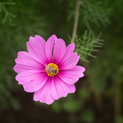Cosmos (citrusjig) Tags: fujifilm xt1 helios44258mmf2 flowers