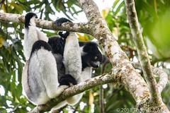 Indri, Madagascar (Tom's Macro and Nature Photographs) Tags: wildlife lemur primates madagascar indri endangeredspecies wildlifephotography naturephotography forest