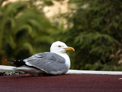i vicini di casa ... (fotomie2009) Tags: fauna animal bird uccello gabbiano seagull reale larus michahellis zampegialle mediterraneo