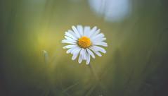 Daisy (Dhina A) Tags: sony a7rii ilce7rm2 a7r2 a7r malik triolam 100mm f29 france anastigmat 29 maliktriolamfranceanastigmat100mmf29 slide projection projector lens french daisy flower bokeh