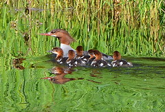 MAMA MORGANSER,  TULAMEEN,  BC. (vermillion$baby) Tags: ottercreek babies bird chicks ducks mergansers tulameen