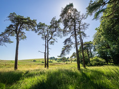 Copse near North Hill (Bruce Clarke) Tags: 714mmf28 trees summer m43 landscape northhill olympus woods outdoor priddy copse omdem1 mendiphills pinetrees somerset mendips