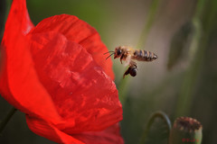 Bees & Poppies (Kike K.) Tags: insect bug animal bee bumblebee fly flying color yellow blue morning canon 80d canon70200f4l hiking walk nature natural sky light sun sunlight flower plant flora fauna green estate hot outdoor forest river water grass meadow park pollen wild amateur wings honey warm pollinator decline europe croatia adriatic sea mediterranean 2018 spring afternoon violet rose red azure lila mountain vivid blueweed viper bugloss poppy june landing early gimp summer