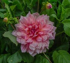Dahlia in the Sofiero castle garden (frankmh) Tags: plant flower dahlia sofiero sofierocastlegarden helsingborg skåne sweden macro