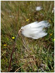 bog cotton (Gi8SKN) Tags: bogcotton ireland donegal bog marsh ei3gkb gi8skn cameraphone s7 galaxy samsung