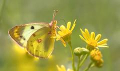 Postillion (Colias crocea)♀ (Andrelo2014) Tags: postillion colias crocea butterfly schmetterling sigma 105mm