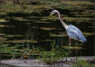 2945-  The Heron and the Turtles