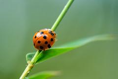 GSCF7313 (Deepak Kaw) Tags: macro bokeh nature ladybird beetle composition colours fujifilm