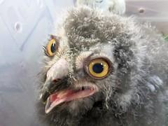 4 week old snowy owl (billnbenj) Tags: barrow cumbria owl raptor birdofprey snowyowl