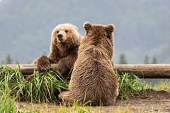 You watch my back, I'll watch yours (spwasilla) Tags: wildlife alaska brown bear coastal brownbear grizzly lakeclarknationalpark cub
