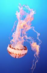 Purple-striped Jellyfish (RyanOConnorPhoto) Tags: purple striped jellyfish sea nettle