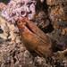 Big Moray eel - Gymnothorax prasinus