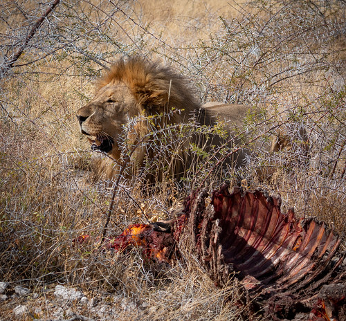Lion just finished breakfast