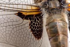 Cells, Cells, Cells - _TNY_5875 (Calle Söderberg) Tags: macro canon canon5dmkii canonef100mmf28usmmacro canoneos5dmarkii 5d2 flash meike mk300 glassdiffusor raynox dcr250 dragonfly odonata libellulidae libellula quadrimaculata fyrfläckadtrollslända trollslända fourspottedskimmer fourspottedchaser skimmer chaser wing wings vingfläck vingribbor veins wingpatch f22
