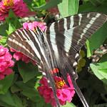 Eurytides marcellus (zebra swallowtail butterfly) on zinnias (Newark, Ohio, USA) 6 thumbnail