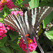 Eurytides marcellus (zebra swallowtail butterfly) on zinnias (Newark, Ohio, USA) 6