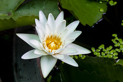 white lotus or water lily in the pond (phatharapol) Tags: lotus white flower aquatic asia background beautiful beauty bloom blooming blossom botanical botany closeup exotic flora floral garden green harmony lake leaf lilly lily natural nature petal plant pond season spring summer tranquil tropical water waterlily yellow