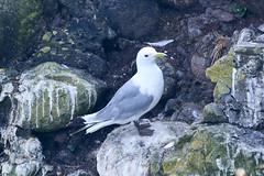 Kittiwate (Dougie Edmond) Tags: scotland unitedkingdom gb rspb reserve clifftop birds nature wildlife sea