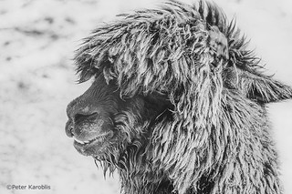 Alpaca portrait black and white