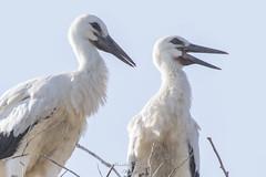 Storks (Siminis) Tags: siminis haralambossiminis mytilene aegean aegeansea greece kalloni kalloniwetlands storks whitestorks ciconiaciconia
