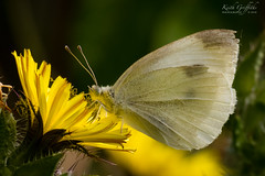 Small White (Photography - KG's) Tags: wildlife butterfly reserve bird birds animals summerleys largewhite nature