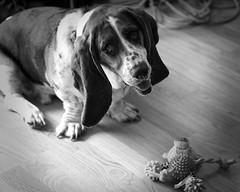 Wanna Play? (lancekingphoto) Tags: basset playful bigears floppy dog fujifilmxt2 fujinonxf60mmf24rmacro xposurex3