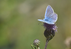 Common blue ( Icarus blauwtje) (moniquedoon) Tags: butterfly blue vlinder icaursblauwtje commonblue macro summer nature