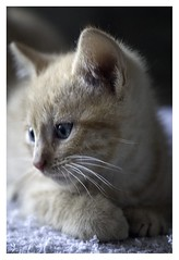 I think, therefore... (orichier) Tags: look nose eye animal cat sweet kitten lorraine france