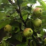 20180729_Rain and the apple tree thumbnail