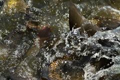 Carp Battle Royal_6712 (Mike Head -Jetwashphotos) Tags: carp feedingfrenzy reifel reifelbirdsanctuary ladner southdelta delta bc britishcolumbia canada westerncanada westernregion