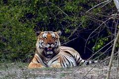 DSCN9228 (rajashekarhk) Tags: tiger internationaltigerday kabinitigerreserve karnataka wildlife nikon nature naturephotography natural animal forest wild tigerreserve projecttiger stripedtiger bitcats green greenery santuary rajashekar hkr