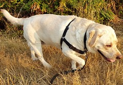 Gracie in golden light (walneylad) Tags: gracie dog canine pet puppy lab labrador labradorretriever cute july summer evening westlynn goldenlight